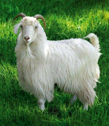 Доильные аппараты для коз